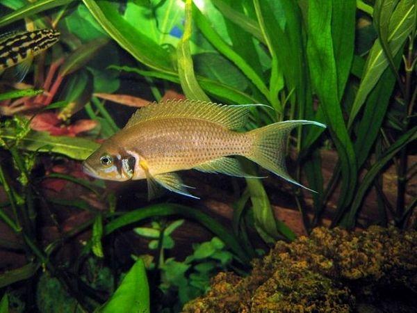 Акваріумна рибка принцеса бурунді: утримання та догляд
