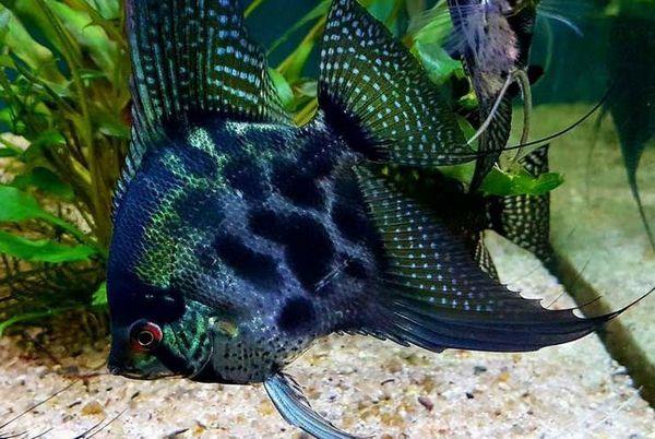 Акваріумна рибка скалярія: догляд та утримання