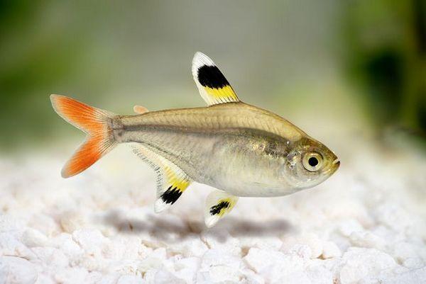 Акваріумна рибка прістелла