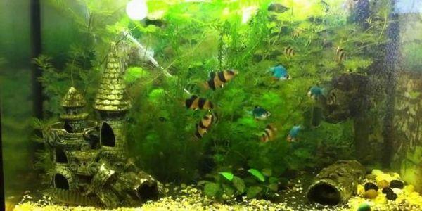 Alodea aquarium plant