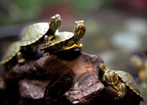 Аквариумни костенурки: популярни видове и тяхната съвместимост с риби