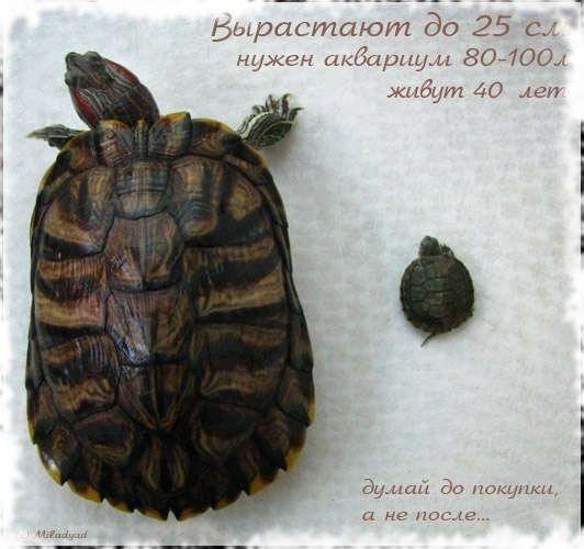 червенокоси костенурки израстват
