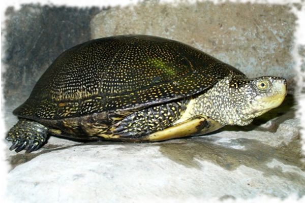 вата костенурка е красива