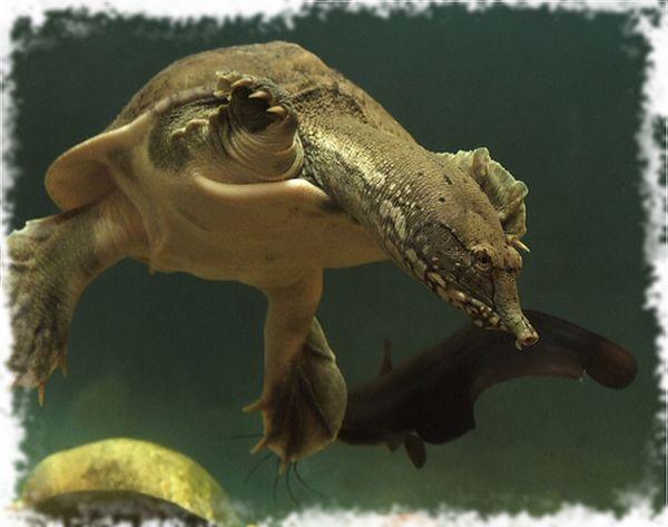 трионика костенурка и риба