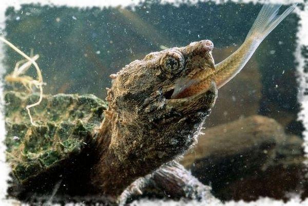 костенурка яде риба