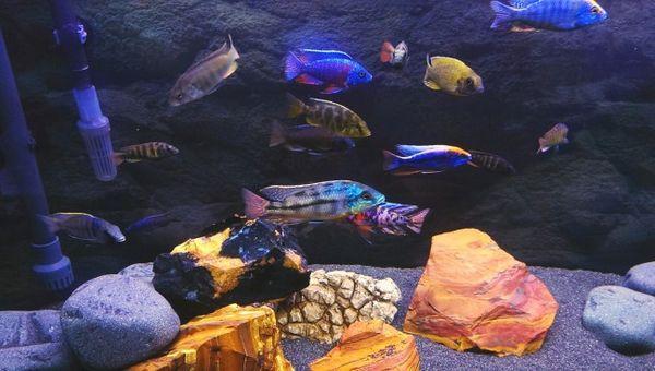 Мешани акваријум афричких циклида.