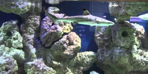 Акваріумні декоративні акули - активні рибки в домашньому водоймі