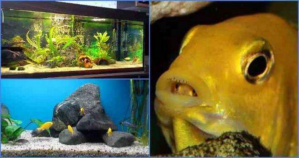 жута риба