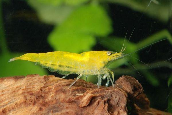 жълти аквариумни скариди