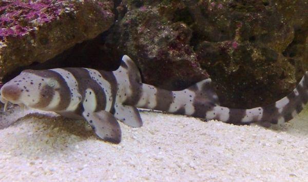 Аквариум мини ајкули.