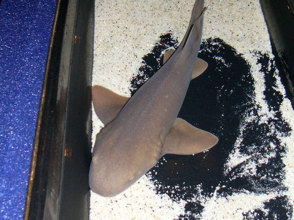 Дадилка од ајкула.