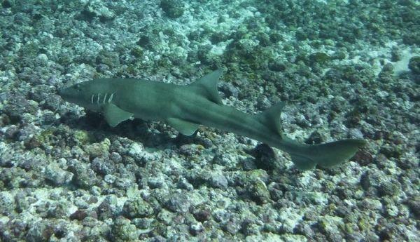 Мини ајкула.