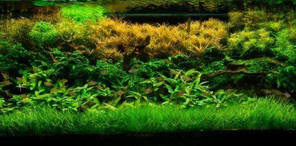 Akvarijní rostliny.