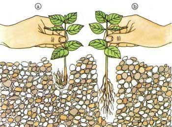 Sadzenie roślin w akwarium
