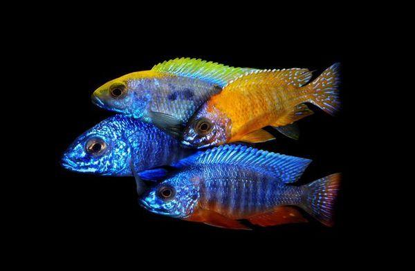 Акваріумні рибки цихліди: види, опис, сумісність