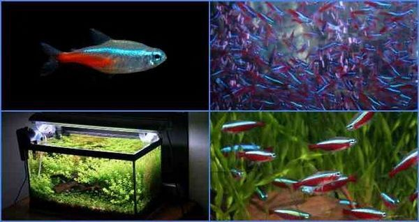 Акваріумні рибки неони: як виробляти розмноження в домашніх умовах