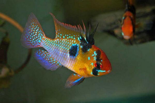 Апистограмма рамірез - рибка у якій багато назв і забарвлень
