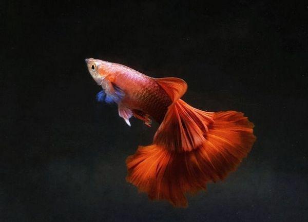 Акваріумні рибки гуппі - просто і докладно про них