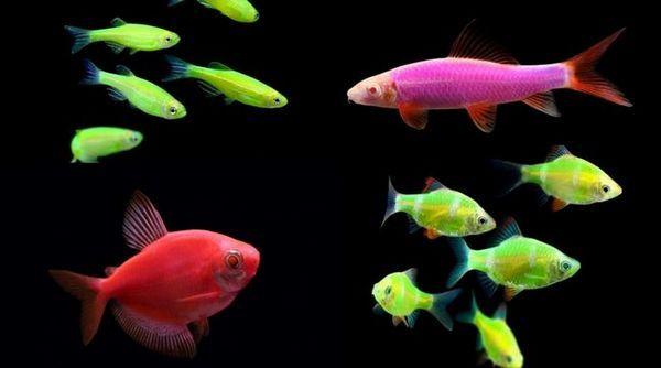 Глофіш рибки - історія створення та різновиди