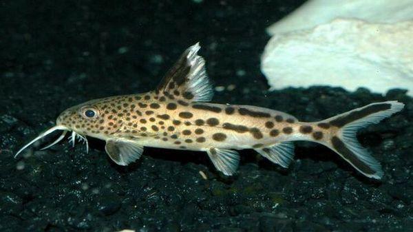 Акваріумні рибки синодонтис: зміст і розмноження