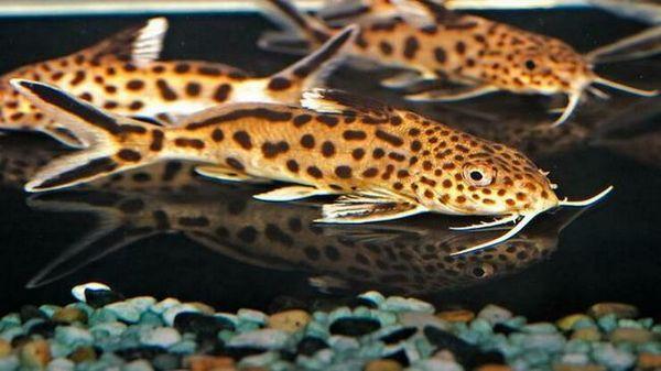 Обичащи аквариумни рибки