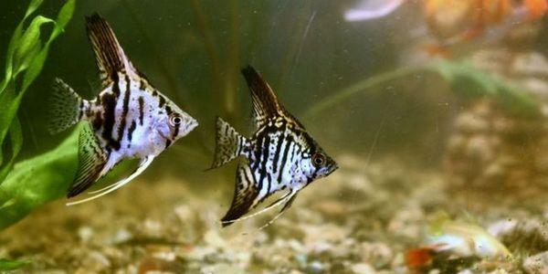 Акваріумні рибки скалярии - утримання та догляд