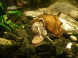 akvarijska polževa pagoda