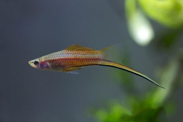 Mečoun malé ryby.