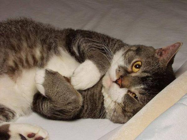 Америчка жичана мачка