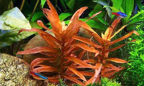 Ammania gracilis.jpg