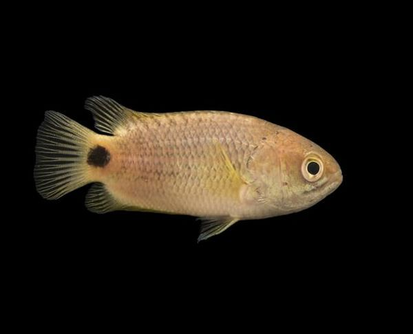 Анабас, або повзун: риба з дивовижними навичками