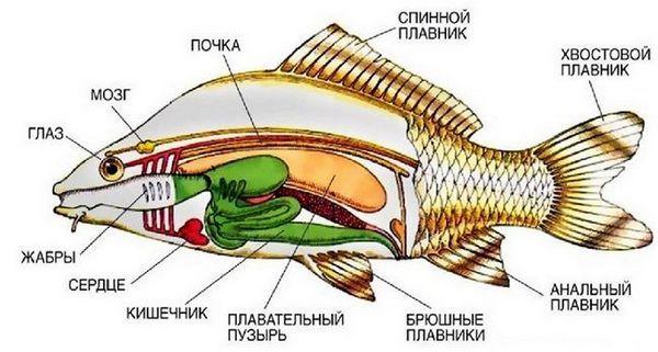 Риба анатомија