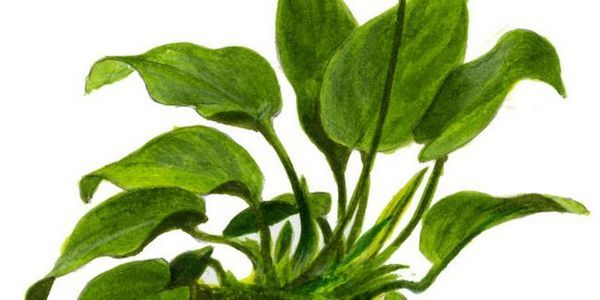 Anubias: zawartość akwarium i cechy roślin