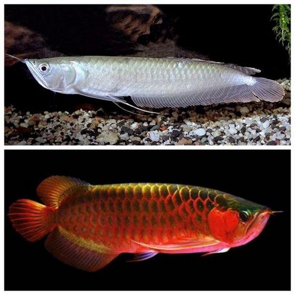 Аравана - риба-дракон