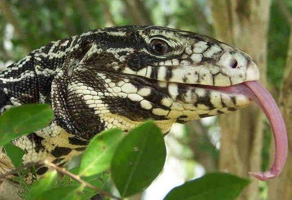 Аржентински черно-бял тегу (tupinambis merianae)