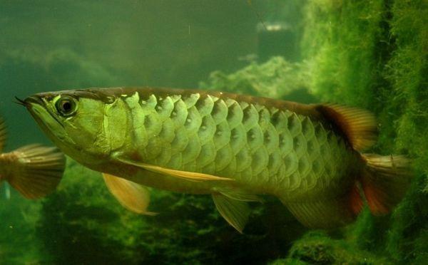 Тропска слатководна риба породице Араван.