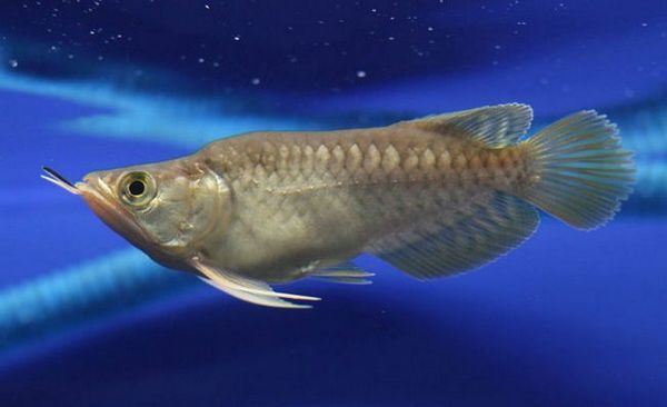 Арована срібляста: догляд та утримання в домашньому акваріумі