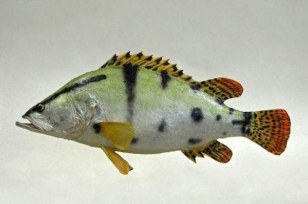 Ауха або китайський окунь - хижа риба далекого сходу і китаю