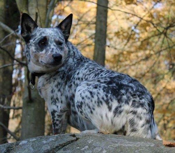 Австралиско исцелител или австралиско овчарско куче