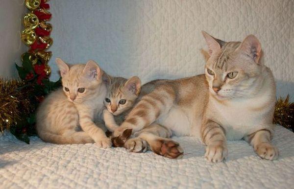 Австралиска магла или австралиска чадена мачка