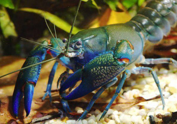 Снимка на австралийски син рак