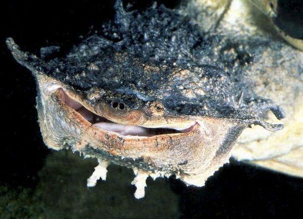 Скъсана костенурка или матамата - майстор на прикриването
