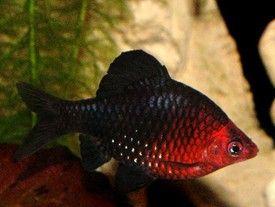 Черен барбус (Barbus nigrofasciatus)