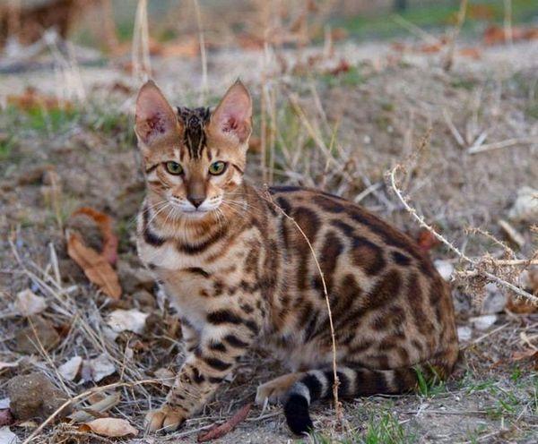 Бенгалска мачка - све о њеном садржају