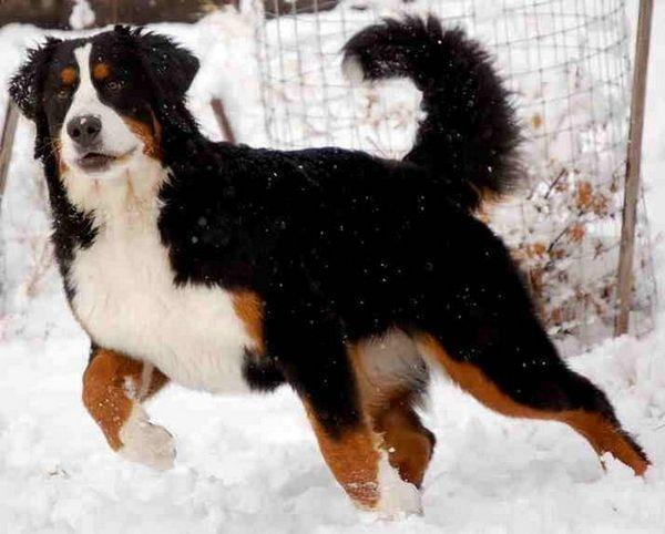 Планинско планинско куче или бернејски пастир