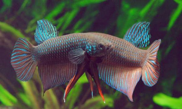 Бетта Смарагдовий в акваріумі 1.jpg