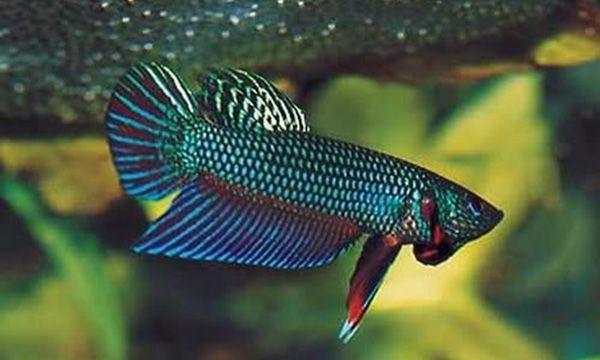 Бетта Смарагдовий в акваріумі 3.jpg