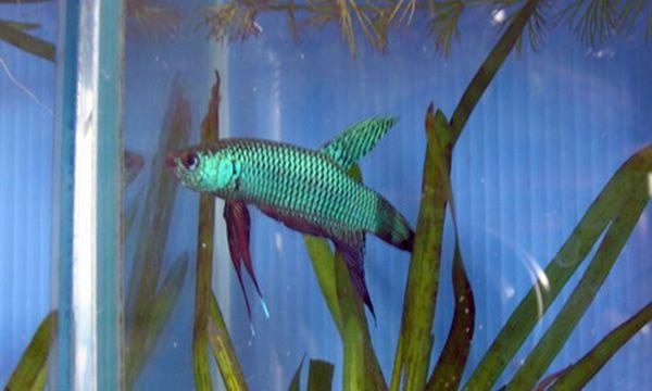 Бетта Смарагдовий в акваріумі 4.jpg
