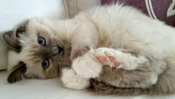 Бурмска пасмина мачака или света бурма