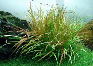 Blixa japoński lub japoński (blyxa japonica)